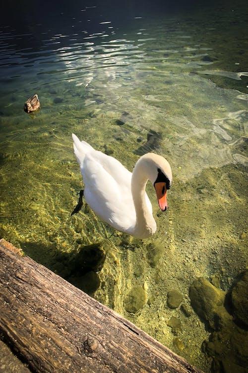 Gratis lagerfoto af europa, hvid, hvid svane, Svane