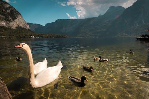 Gratis lagerfoto af hvid svane, hvide svaner, sulten, sultne svaner