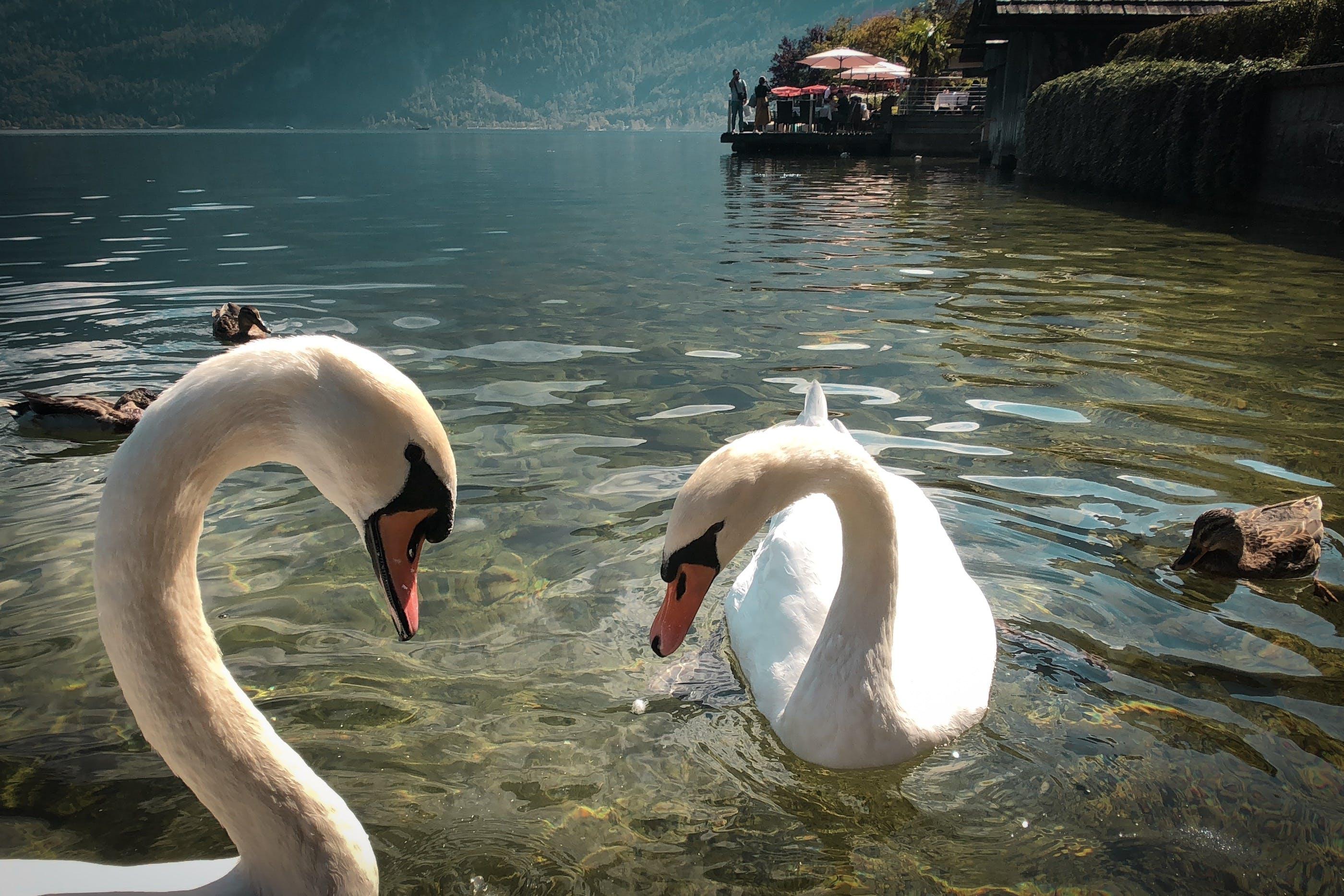 Základová fotografie zdarma na téma bílá labuť, hladový, jezero mondsee, kachny
