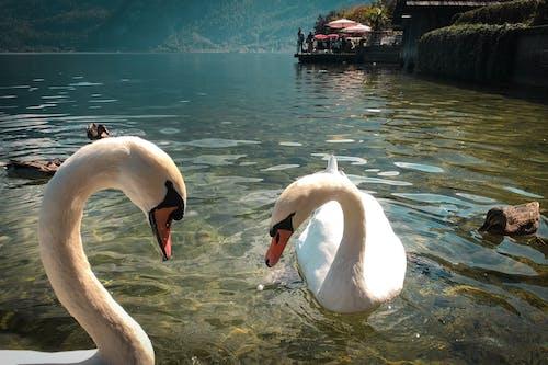 lake mondsee, アヒル, オーストリア, お腹がすいたの無料の写真素材