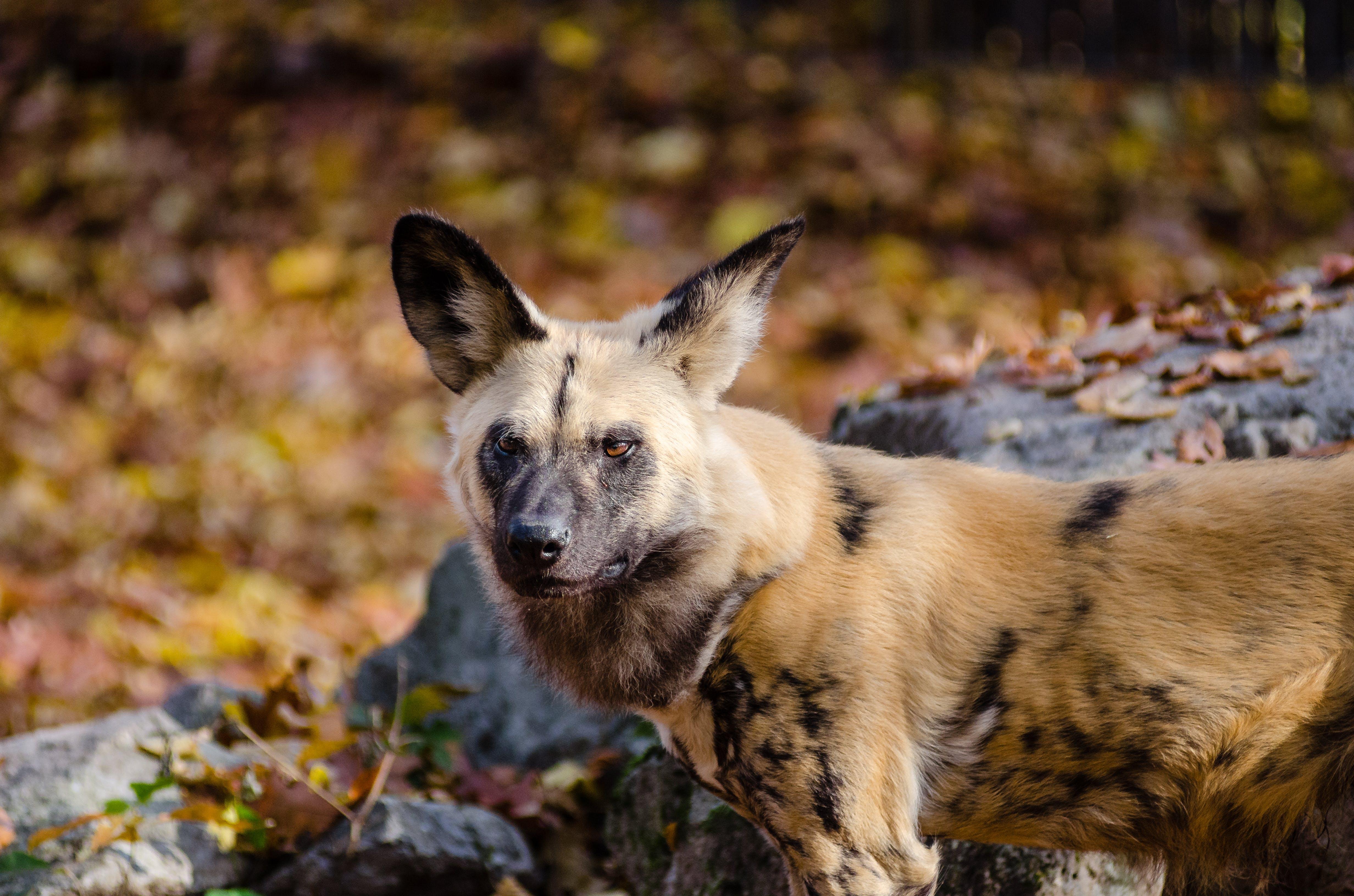 Brown and Black Long Coat Animal Near Grey Rock