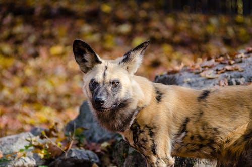 Gratis stockfoto met afrikaanse geschilderde hond, afrikaanse jachthond, afrikaanse wild dog, Afrikaanse wilde hond