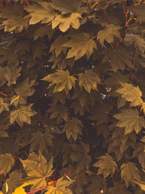 Photos gratuites de croissance, environnement, feuillage, feuilles d'érable