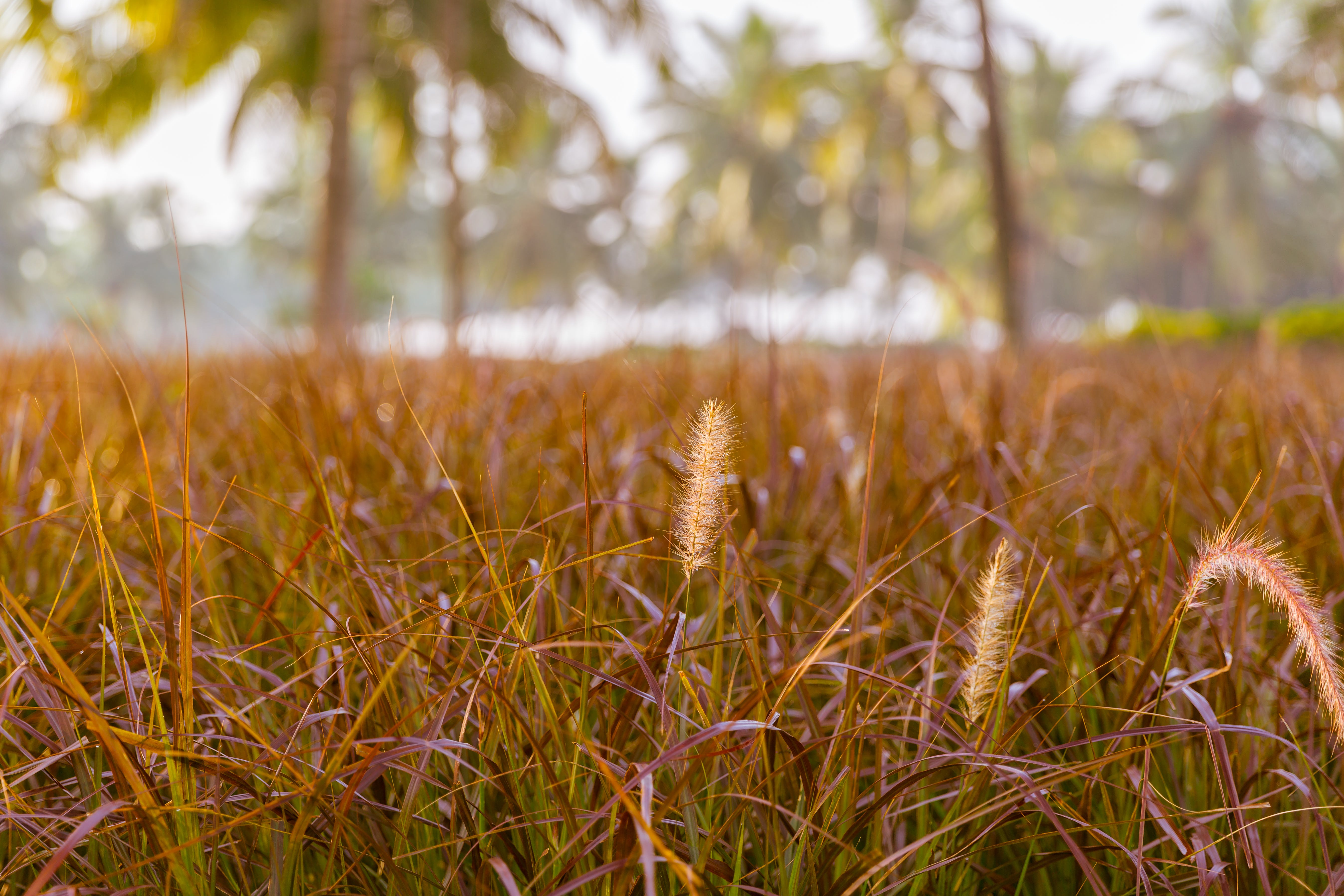 Free stock photo of coconut trees, dry grass, fields, grass
