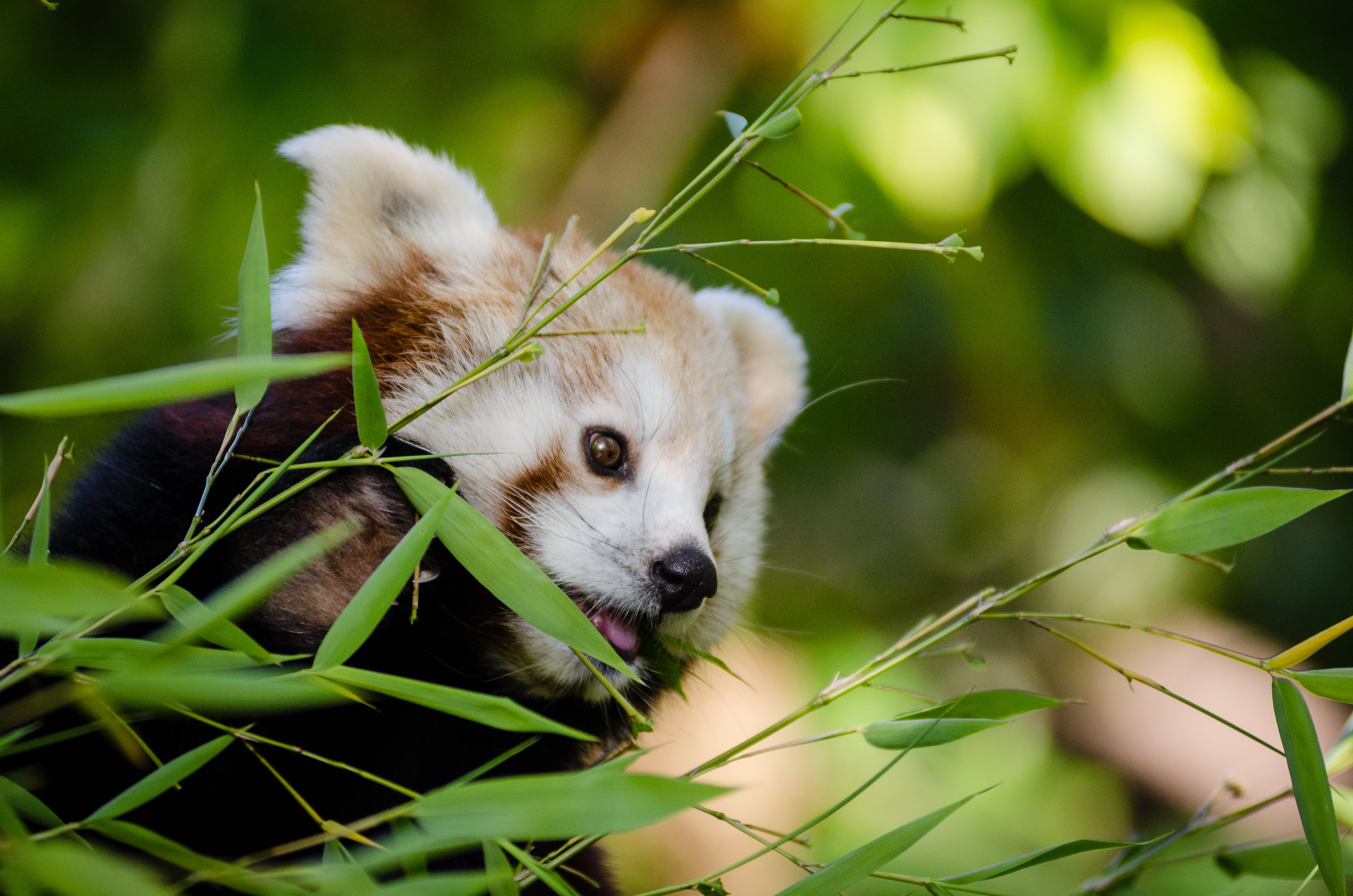 Shallow Focus Photography of Red Panda