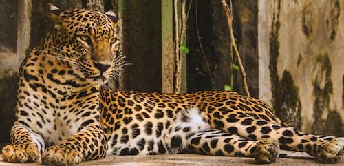 Foto d'estoc gratuïta de animal, animal salvatge, bigotis, caçador