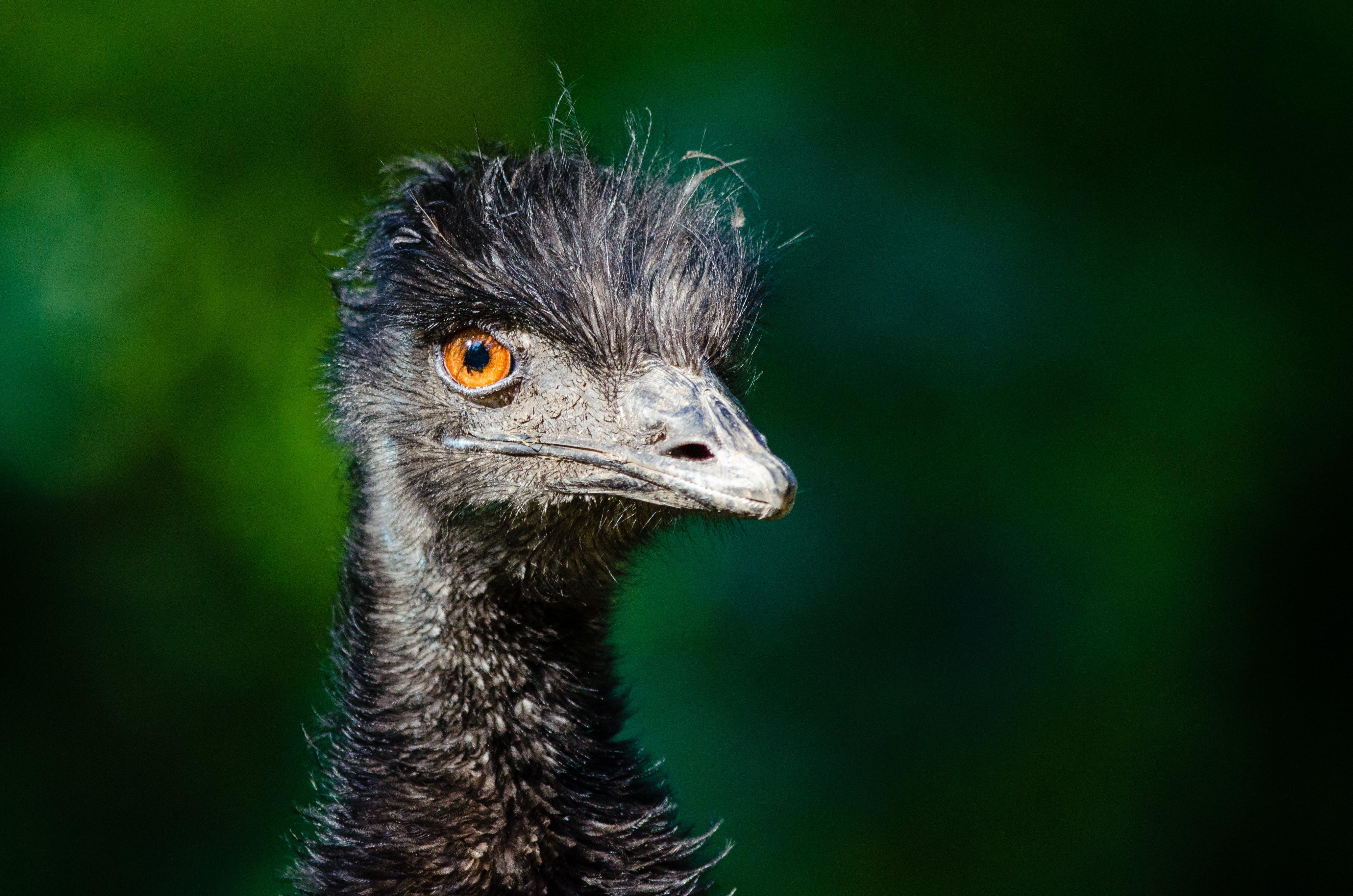 Black Ostrich Head