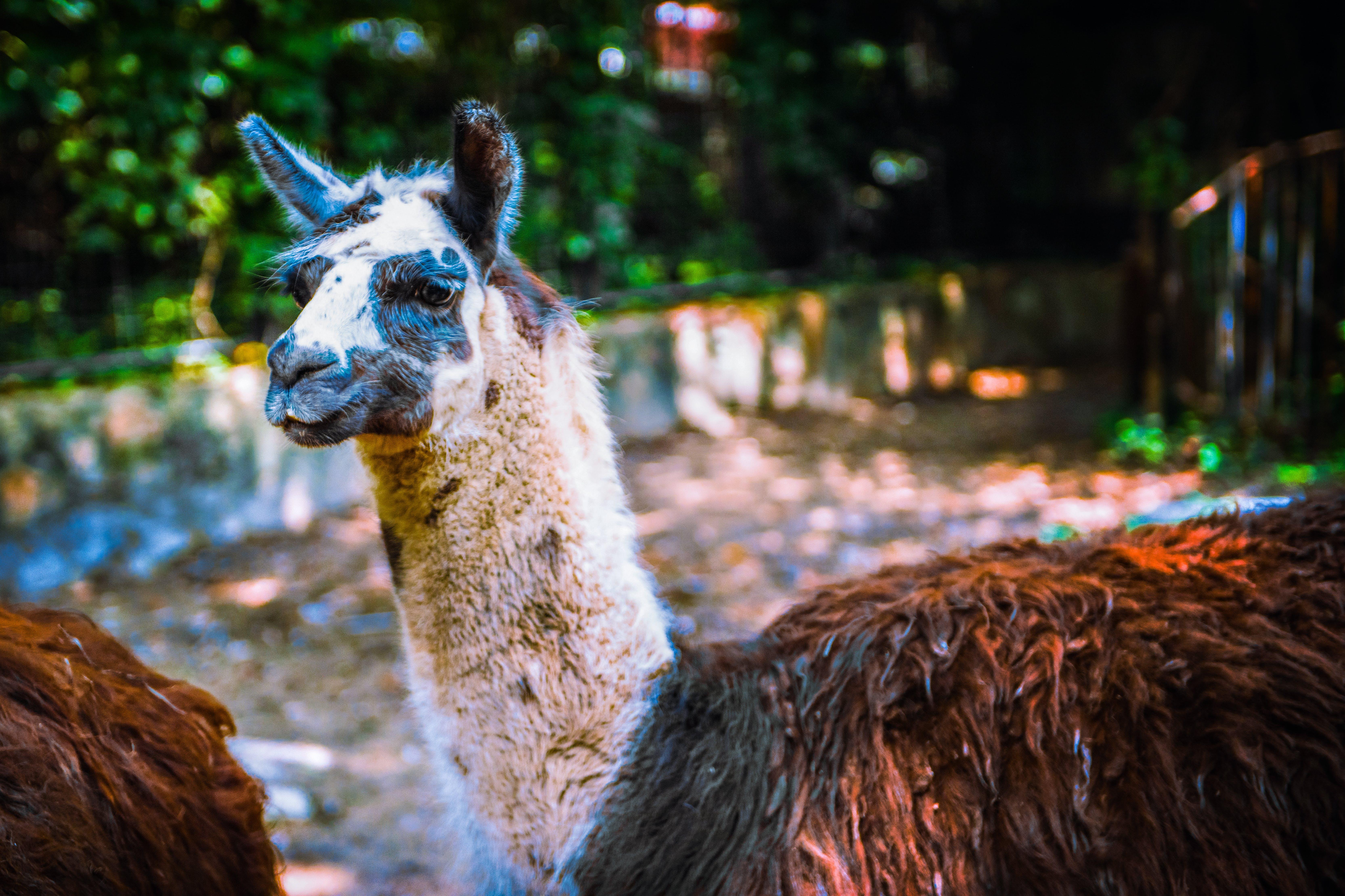 Free stock photo of adorable animal, alpaca, Alpacos, animal
