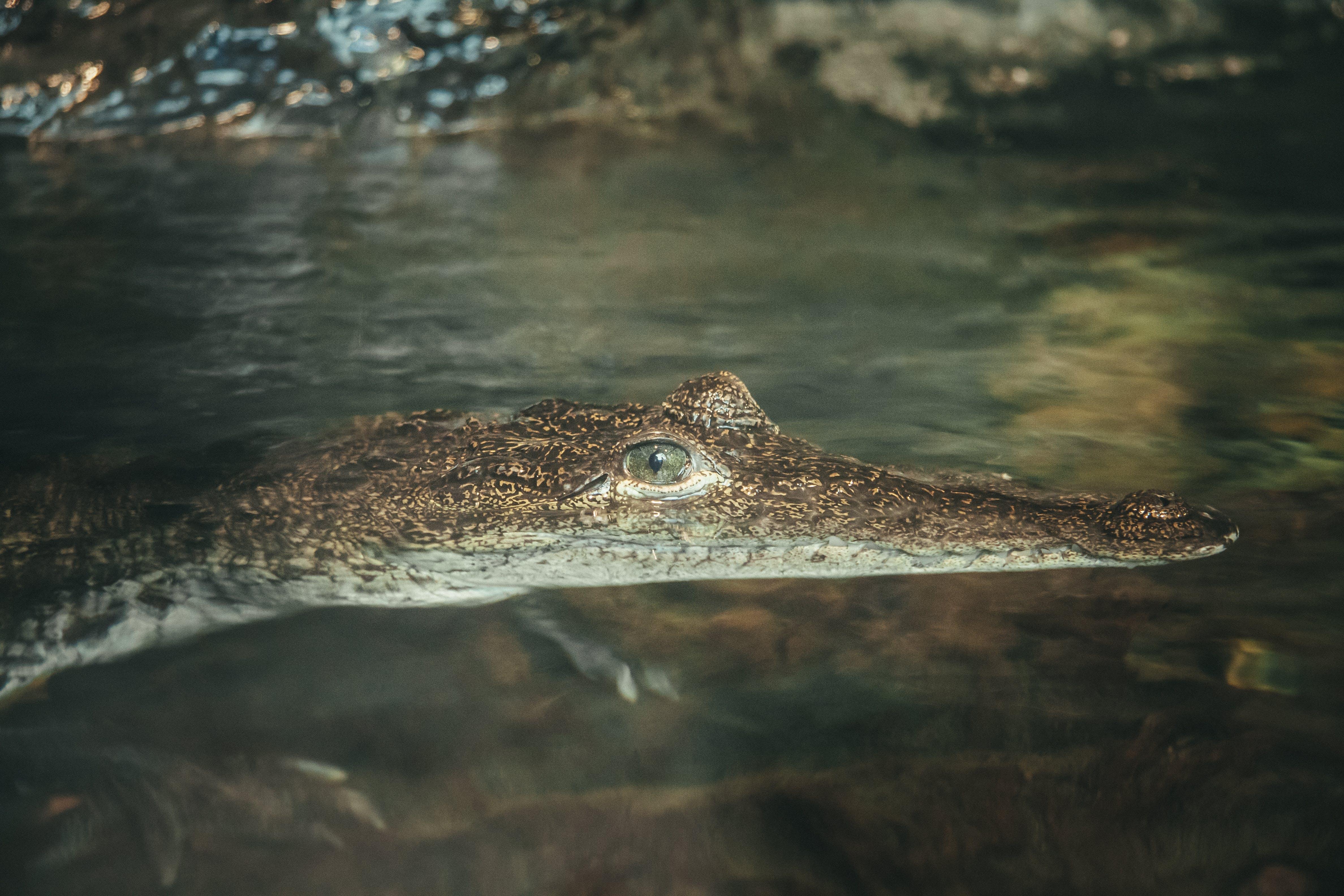 Brown Alligator