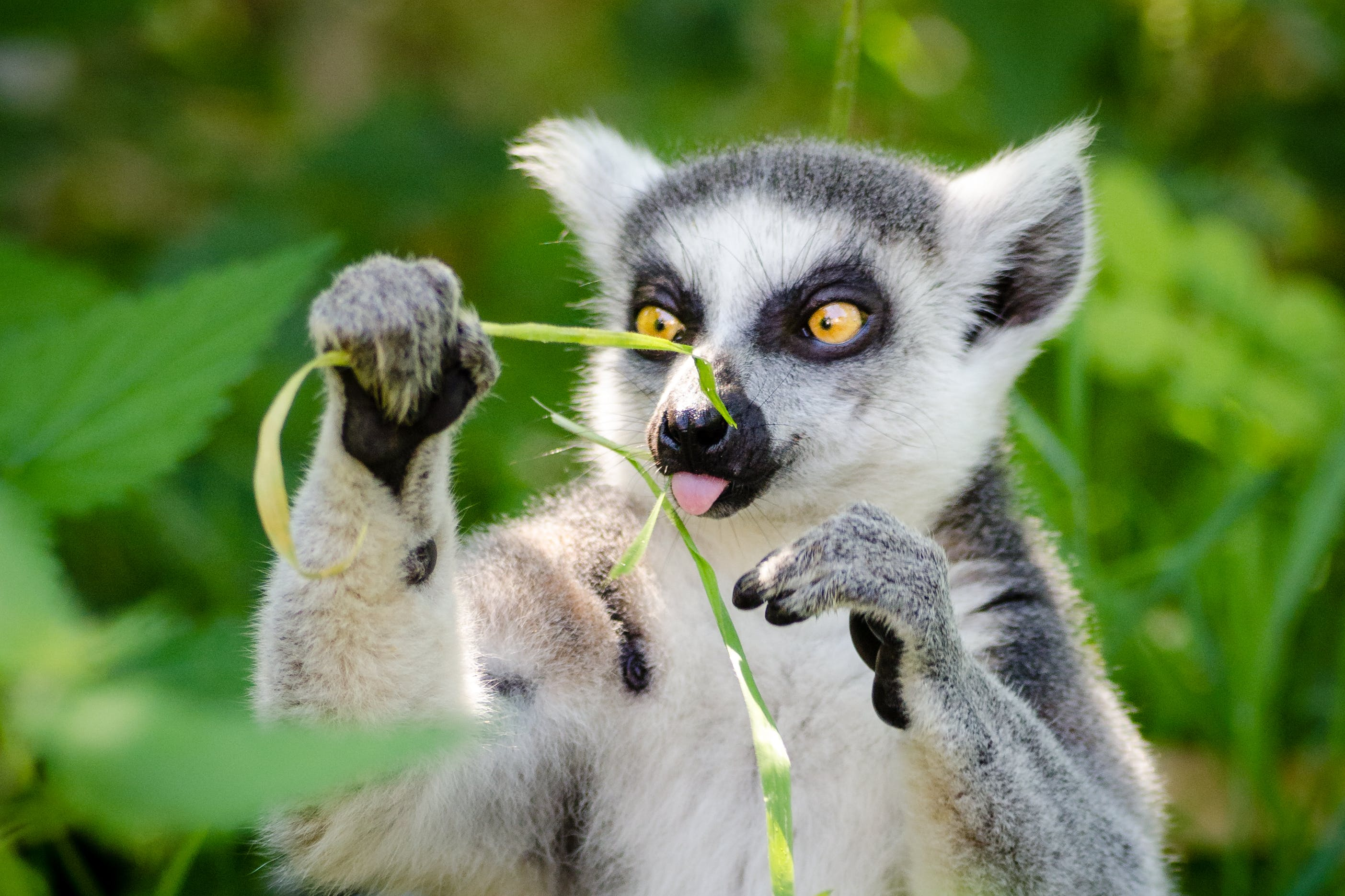 White and Gray Lemur Holding Grass