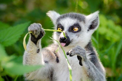Foto stok gratis binatang, cute, kehidupan liar, lemur