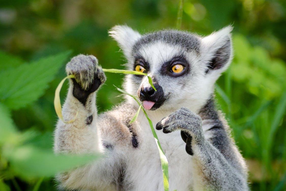 White and Gray Lemur Holding Grass