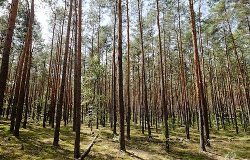Foto stok gratis barbar, batang pohon, flora, hutan