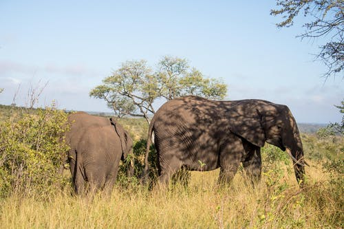 Free stock photo of african elephant, elephant, elephants, nature wallpaper