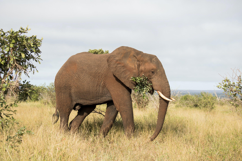 Free stock photo of african elephant, elephant, nature life, wild animal