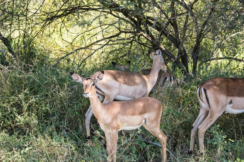 Základová fotografie zdarma na téma jelen, jeleni, příroda tapeta, springbok