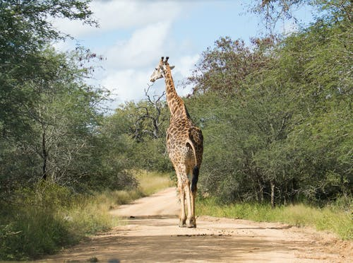 Free stock photo of dirt road, dusty road, giraffe, giraffes
