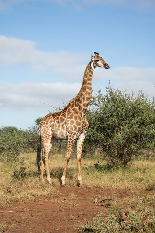 Free stock photo of animal, giraffe, giraffes, nature life