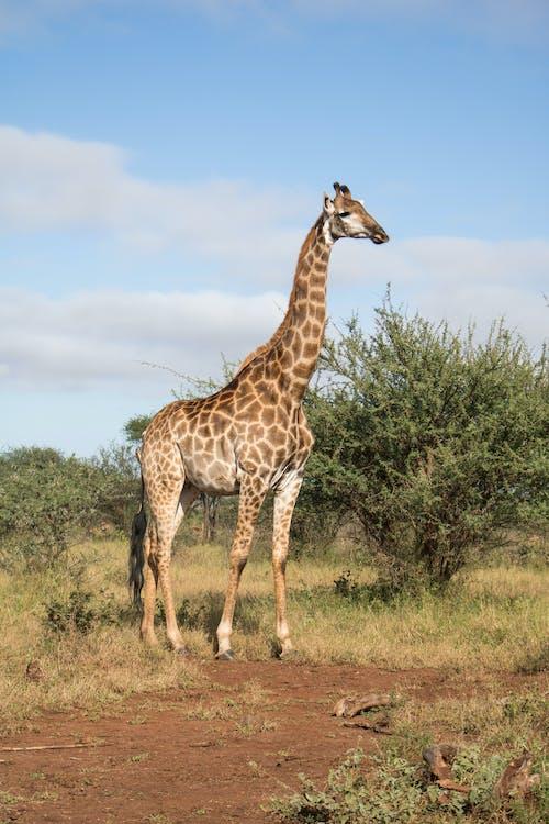 animal, giraffe, giraffes