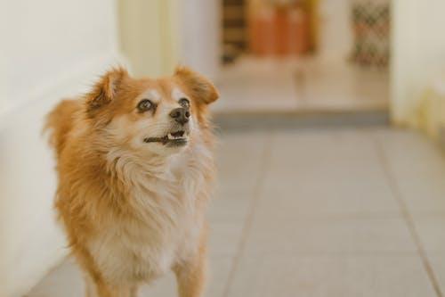 Medium-coated Brown Dog Standing Inside Tiled Floor Room