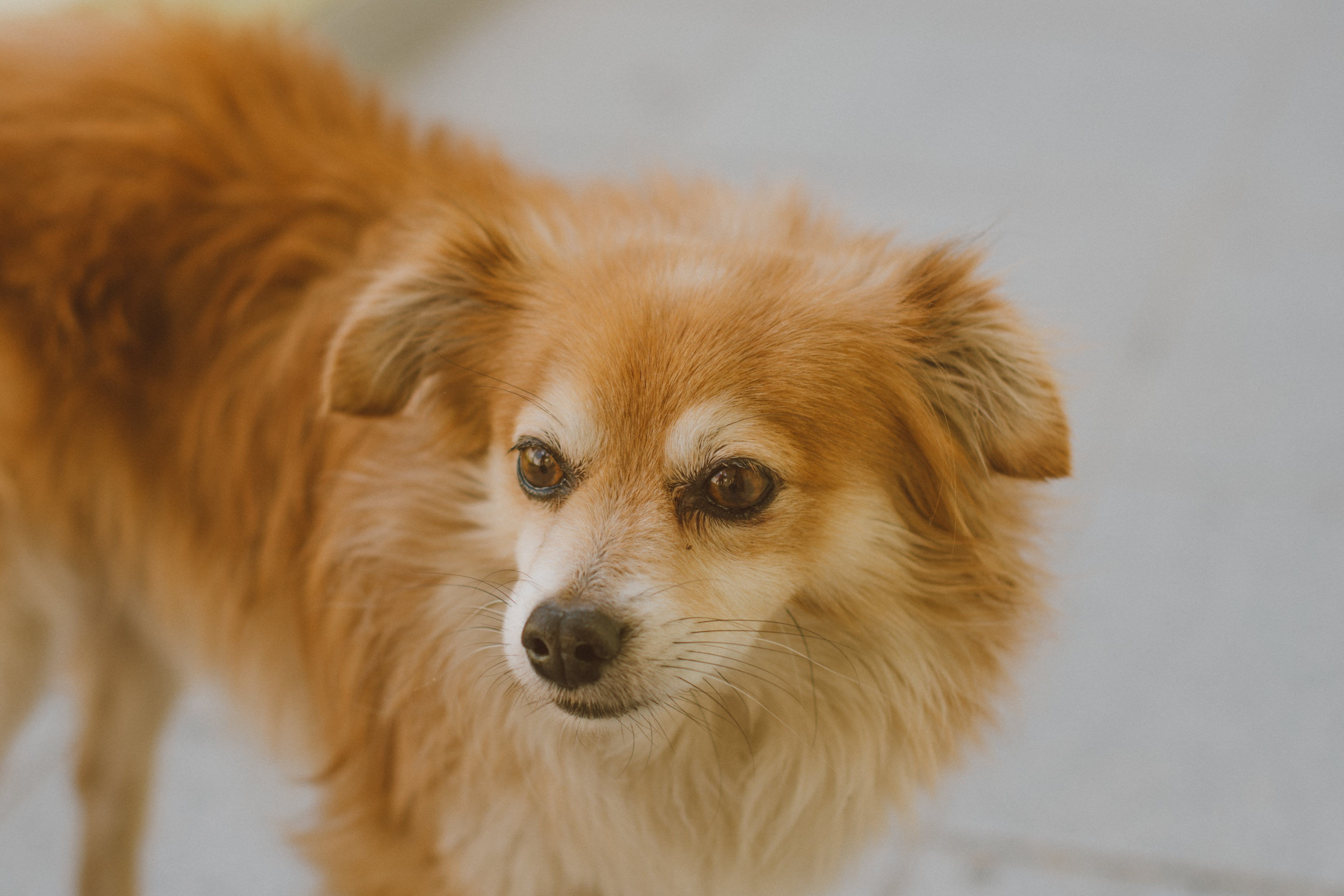 Selective Focus Photography of Long-coated Brown Dog