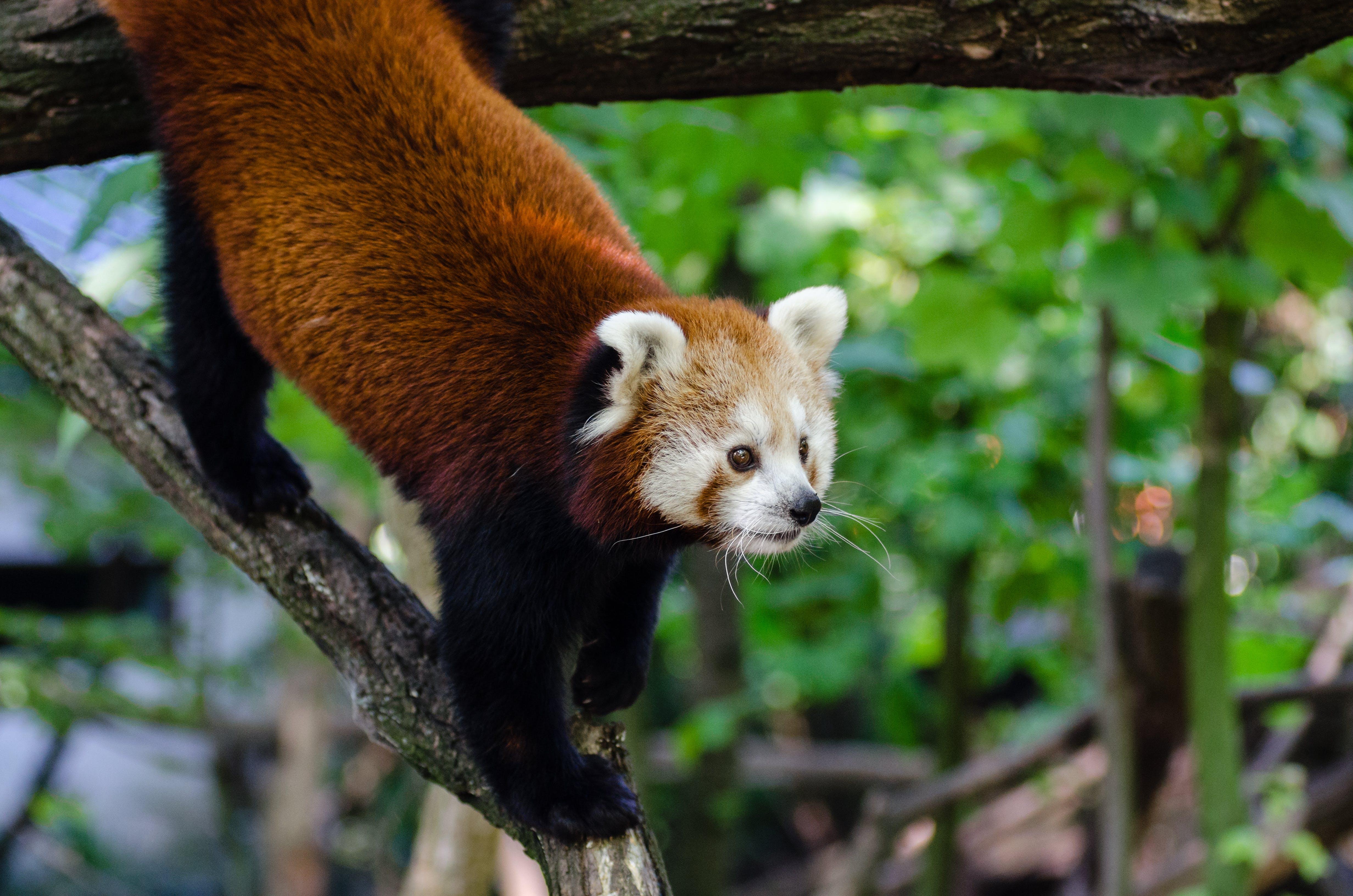 Kostenloses Stock Foto zu makro, niedlich, roter panda, tier