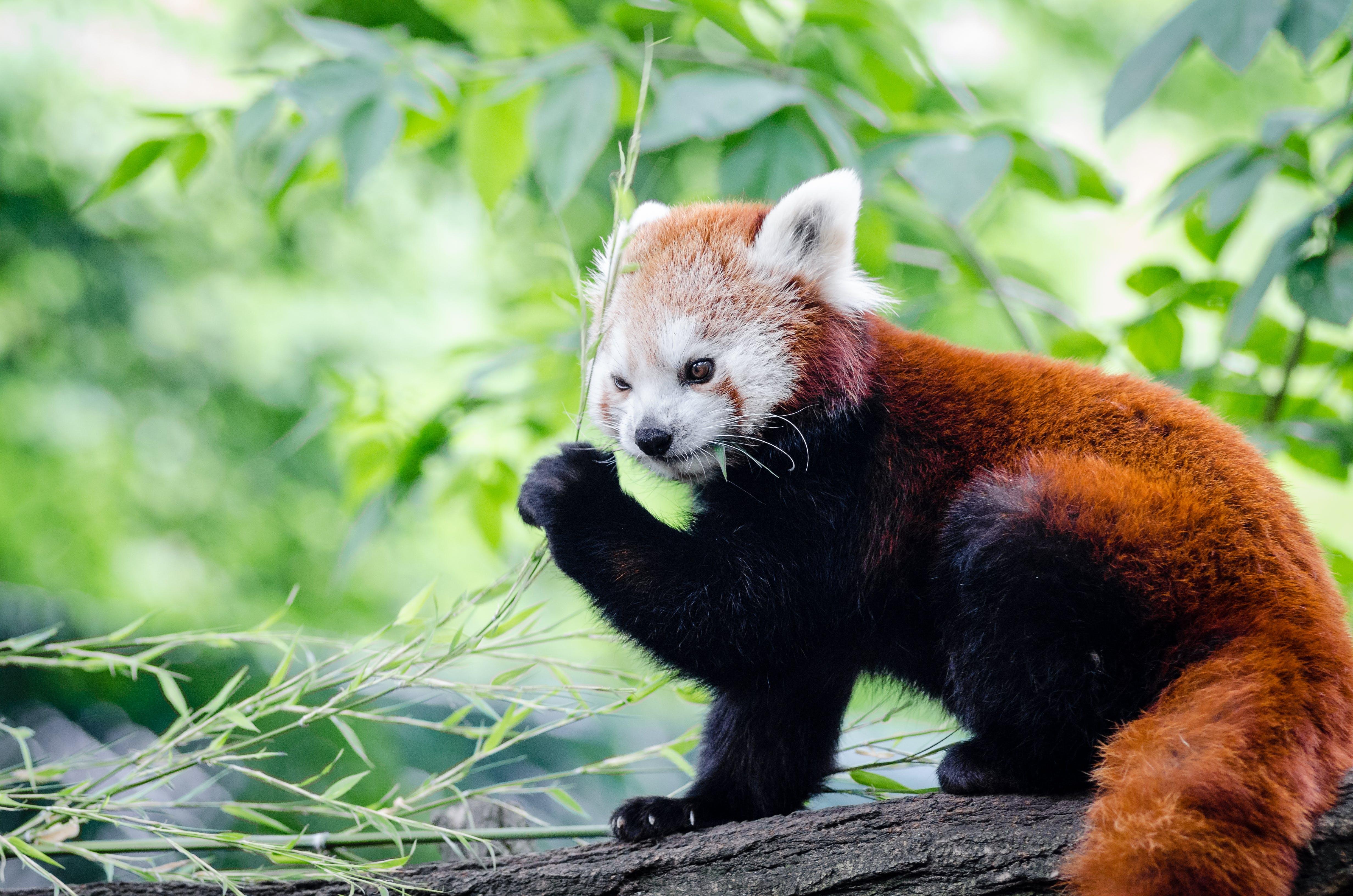 Kostenloses Stock Foto zu holz, niedlich, roter panda, tier
