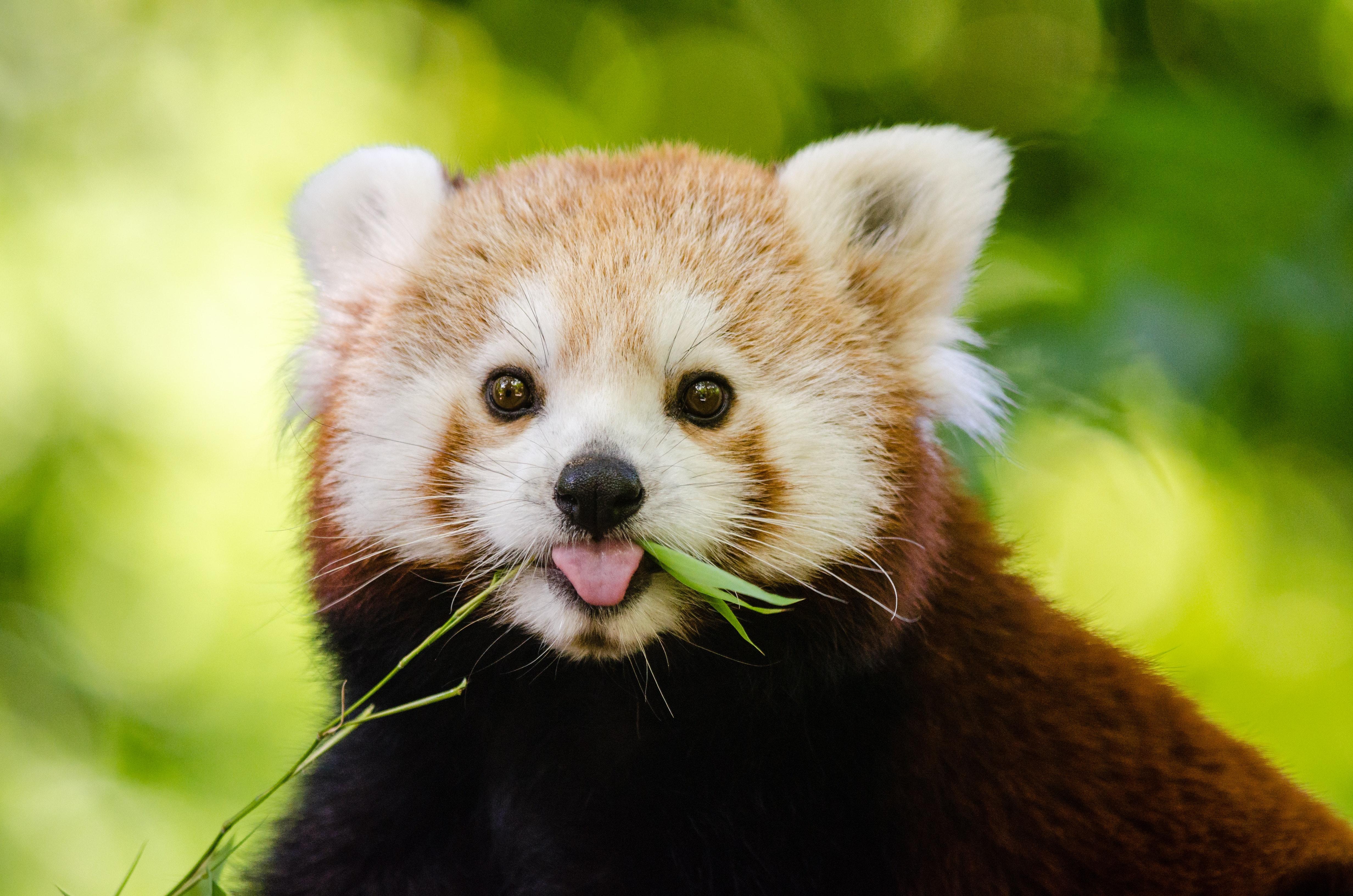 red panda  u00b7 free stock photo