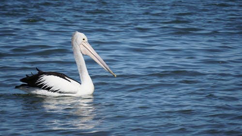 Gratis arkivbilde med pelikan
