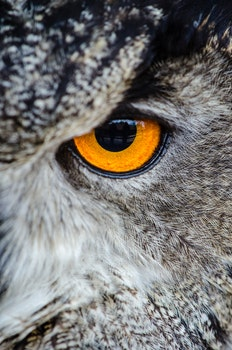 Gray Owl Showing Orange and Black Left Eye