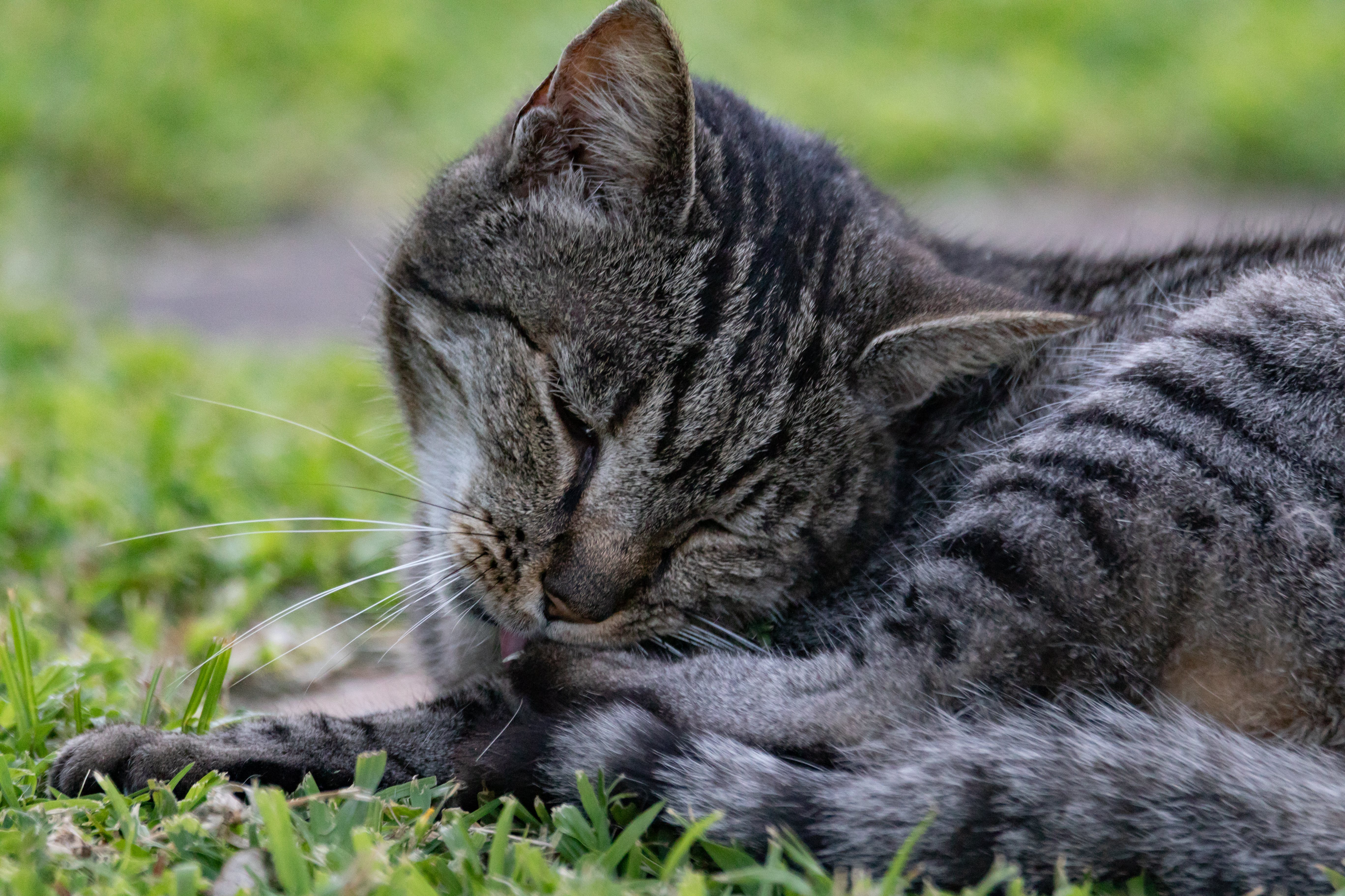 Photo of Grey Tabby Cat Lying on Grass Field