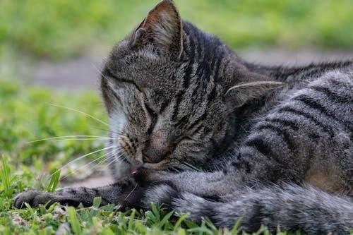 かわいらしい, グレー, ネコ, ぶちの無料の写真素材