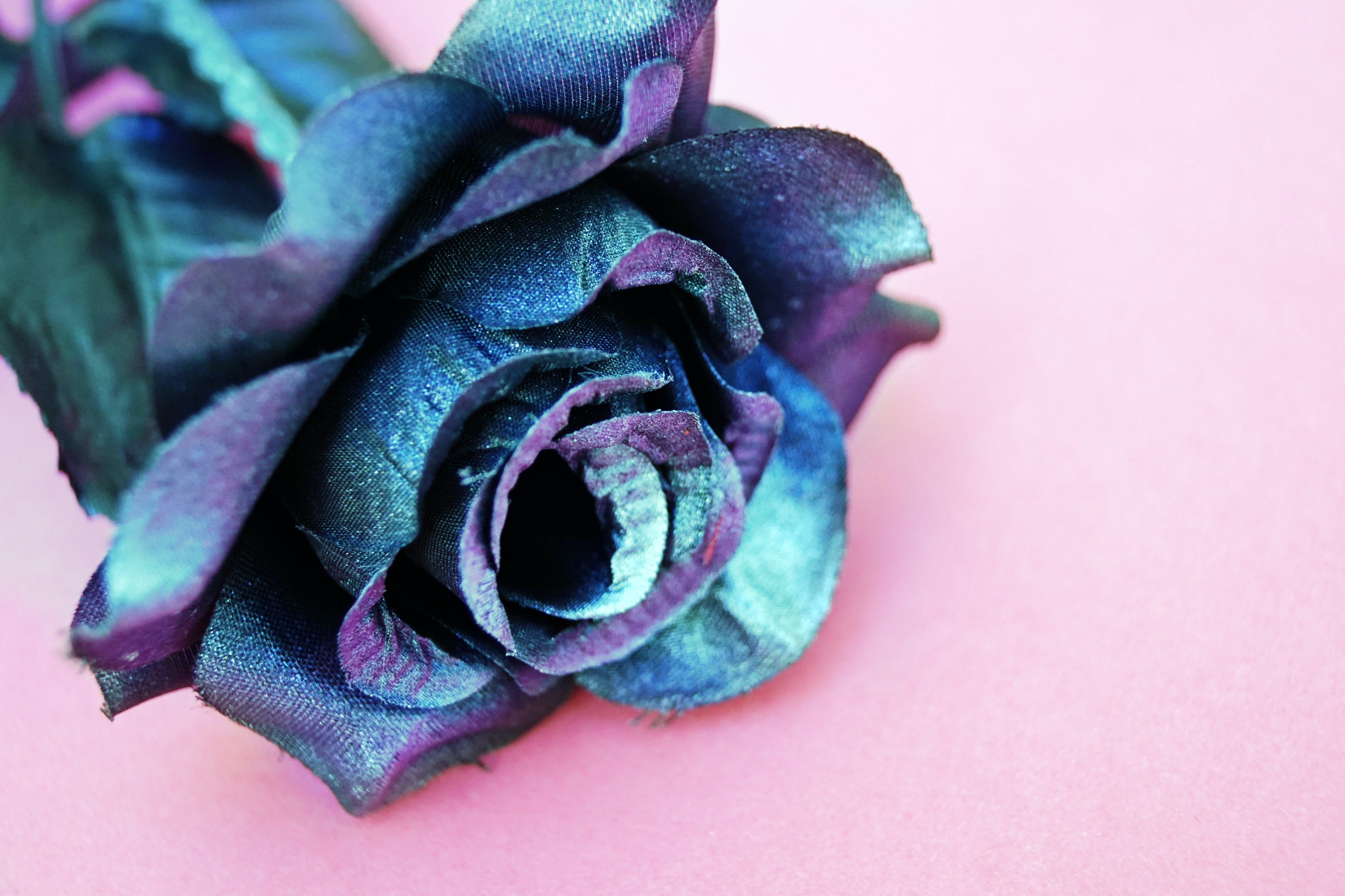 Blue and Purple Silk Rose Flower on Pink Surface