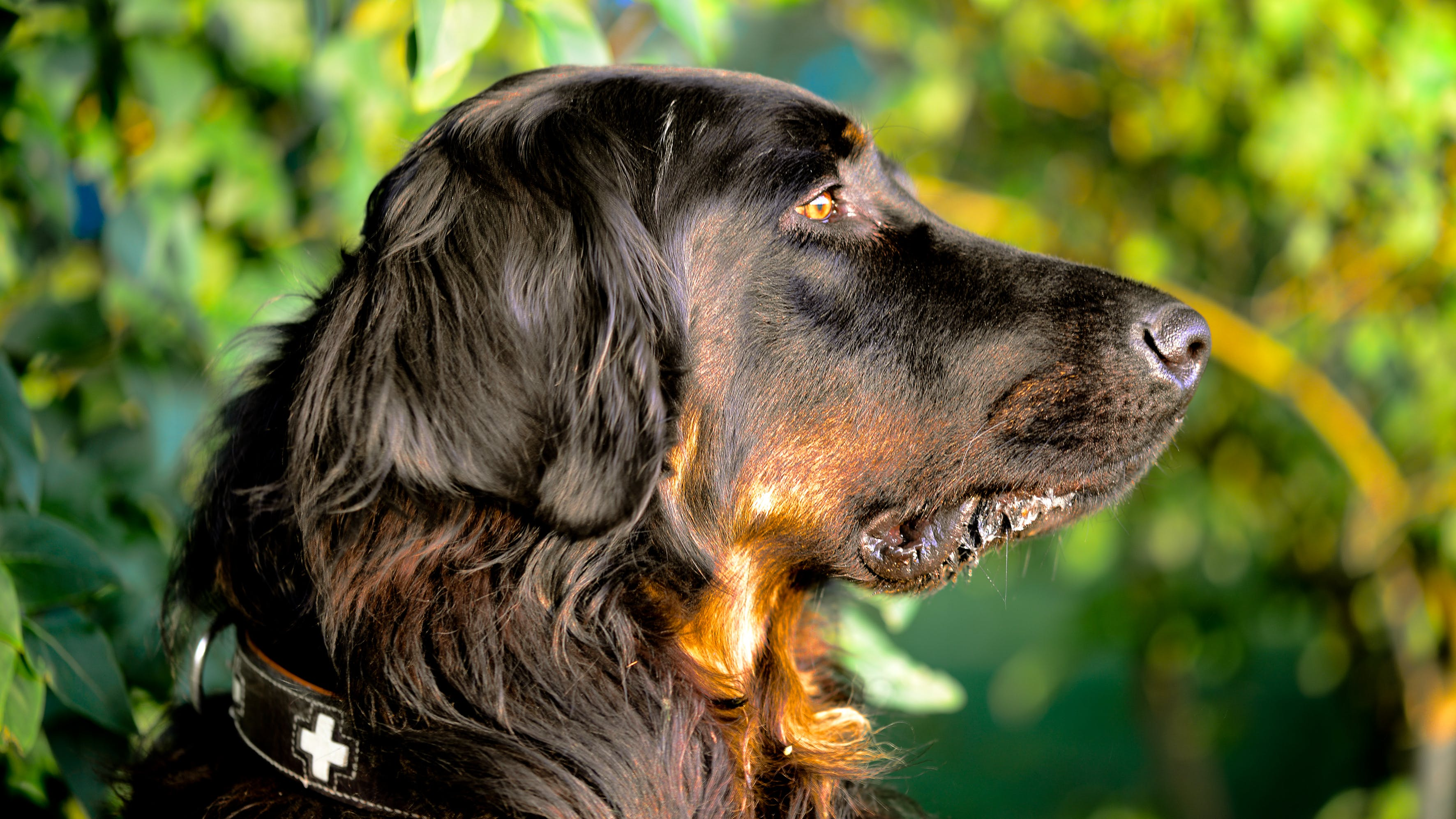 Selective Focus Photography of Gordon Setter