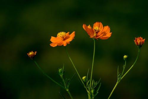 Безкоштовне стокове фото на тему «lightroom, камера nikon, красиві квіти, помаранчева квітка»