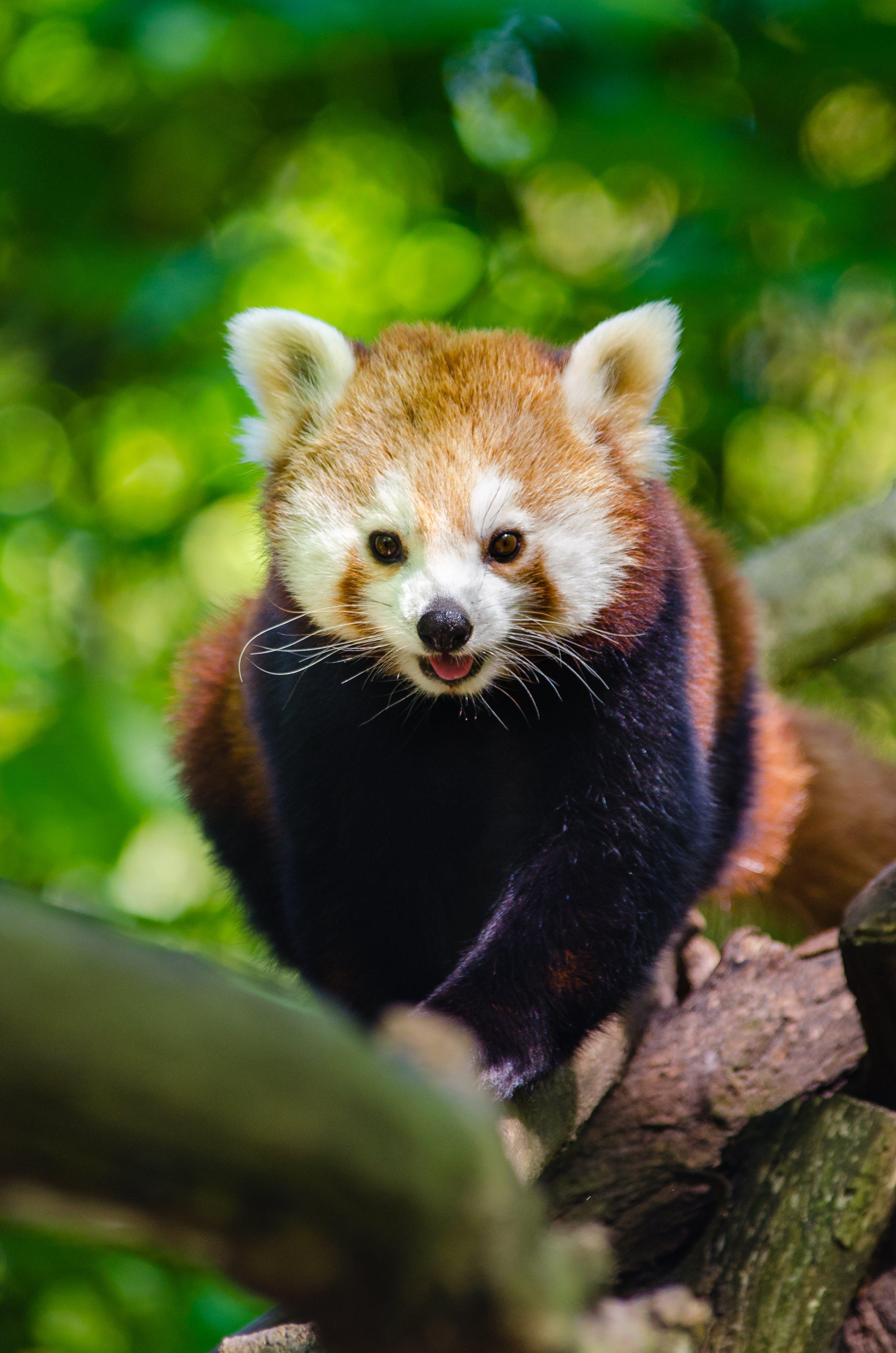 Kostenloses Stock Foto zu ast, baum, niedlich, roter panda