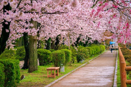 Free stock photo of after the rain, cherry blossom, cherry blossoms, japan