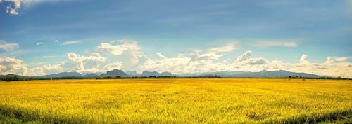 alan, altın pirinç tarlası, biyo, büyüme içeren Ücretsiz stok fotoğraf