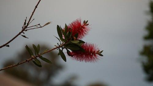 คลังภาพถ่ายฟรี ของ australina, ดอกไม้, ตอนบ่าย, พฤกษา