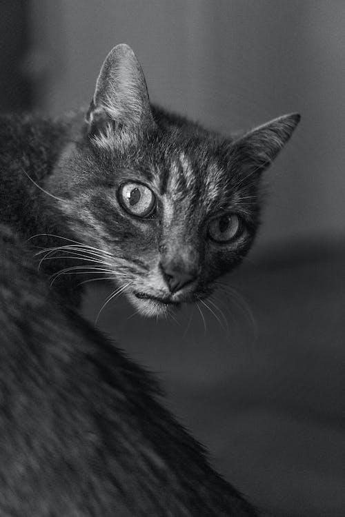 虎斑貓的灰度攝影