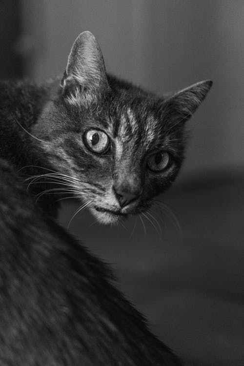 Grayscale Photography of Tabby Cat