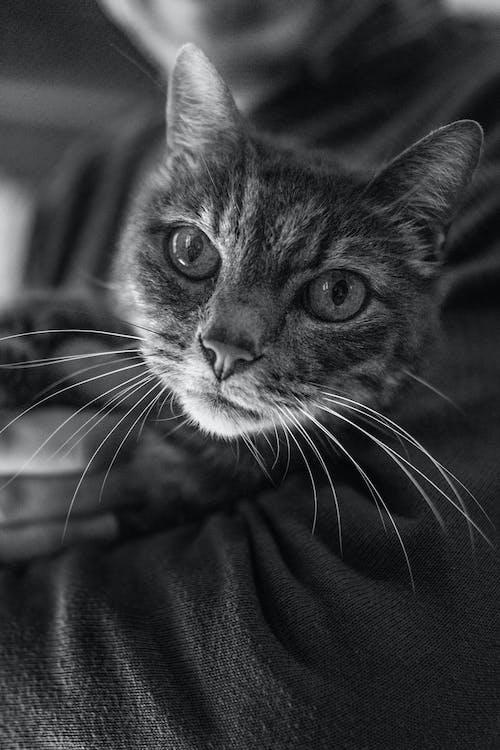 Бесплатное стоковое фото с глаза, домашняя кошка, животное, котенок