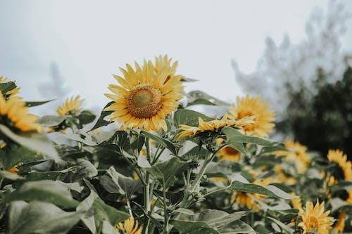 向日葵, 增長, 專注, 微妙 的 免費圖庫相片