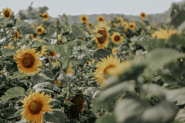 Gratis lagerfoto af blomster, blomstrende, close-up, flora