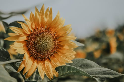 Close-Up Photo of Sunflower