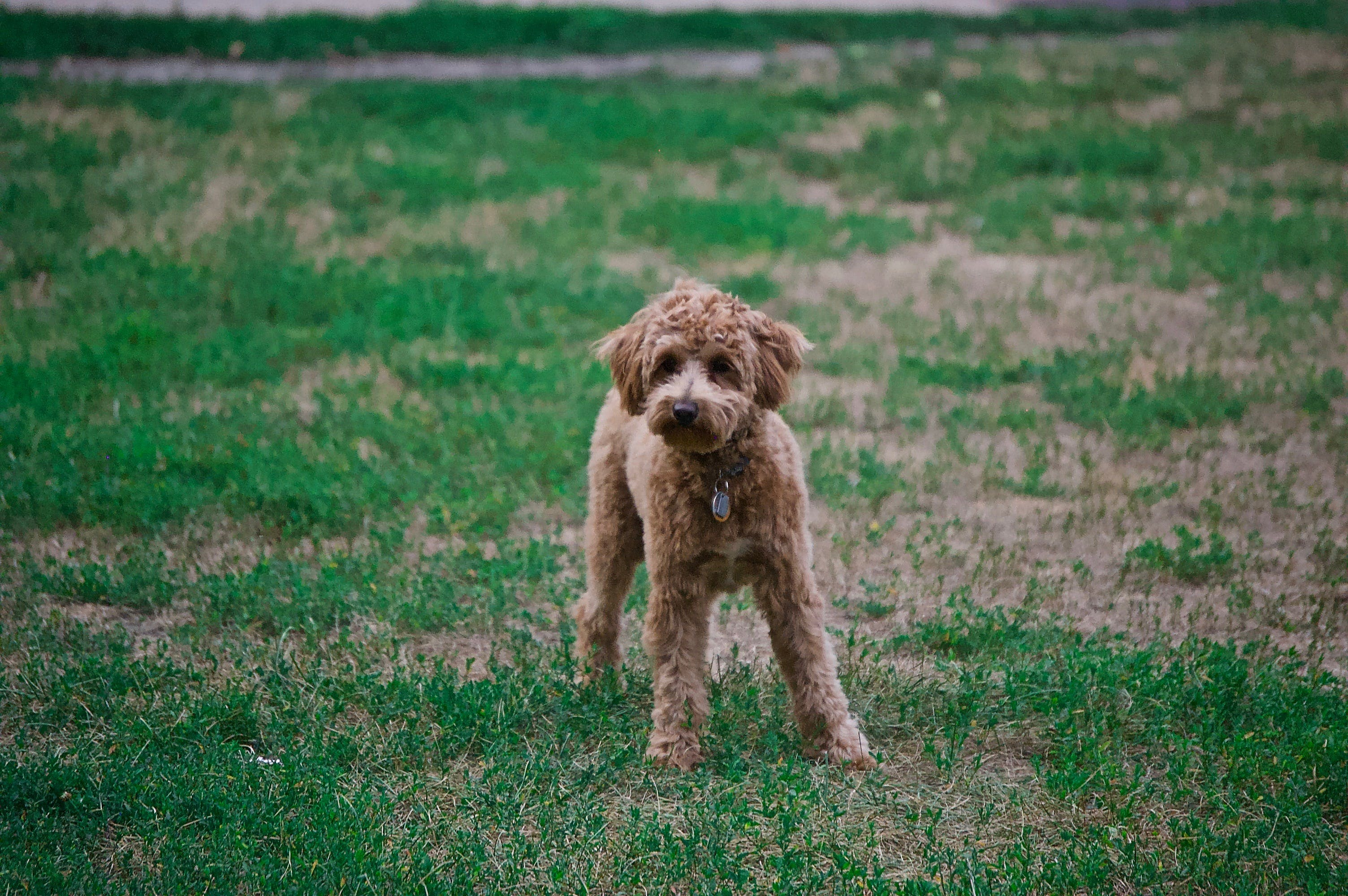 Photo of Poodle On Grass Field