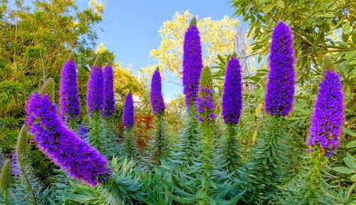 Бесплатное стоковое фото с дисплей цветов, пурпурные цветы, цветущее растение