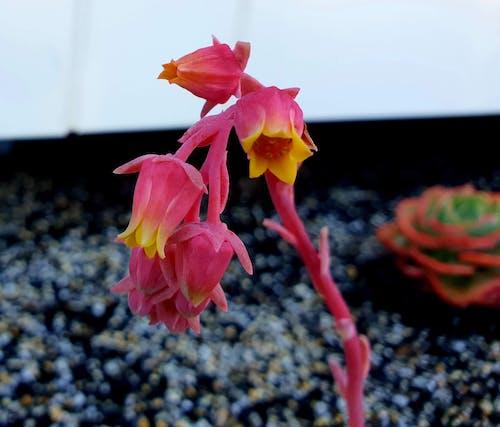 Бесплатное стоковое фото с красивые цветы, розовый цветок, цветок кактуса