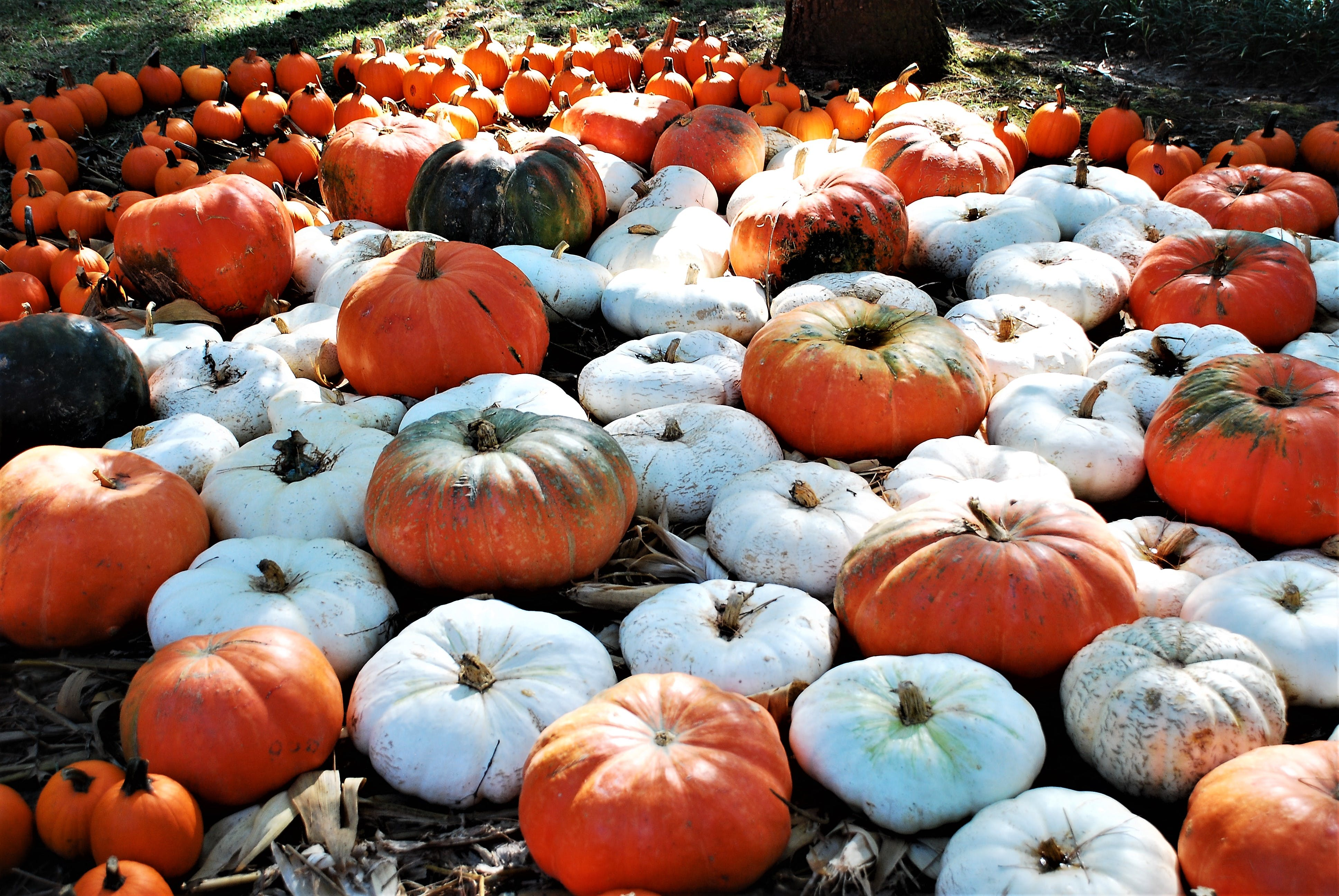 White and Orange Pumpkins on Ground