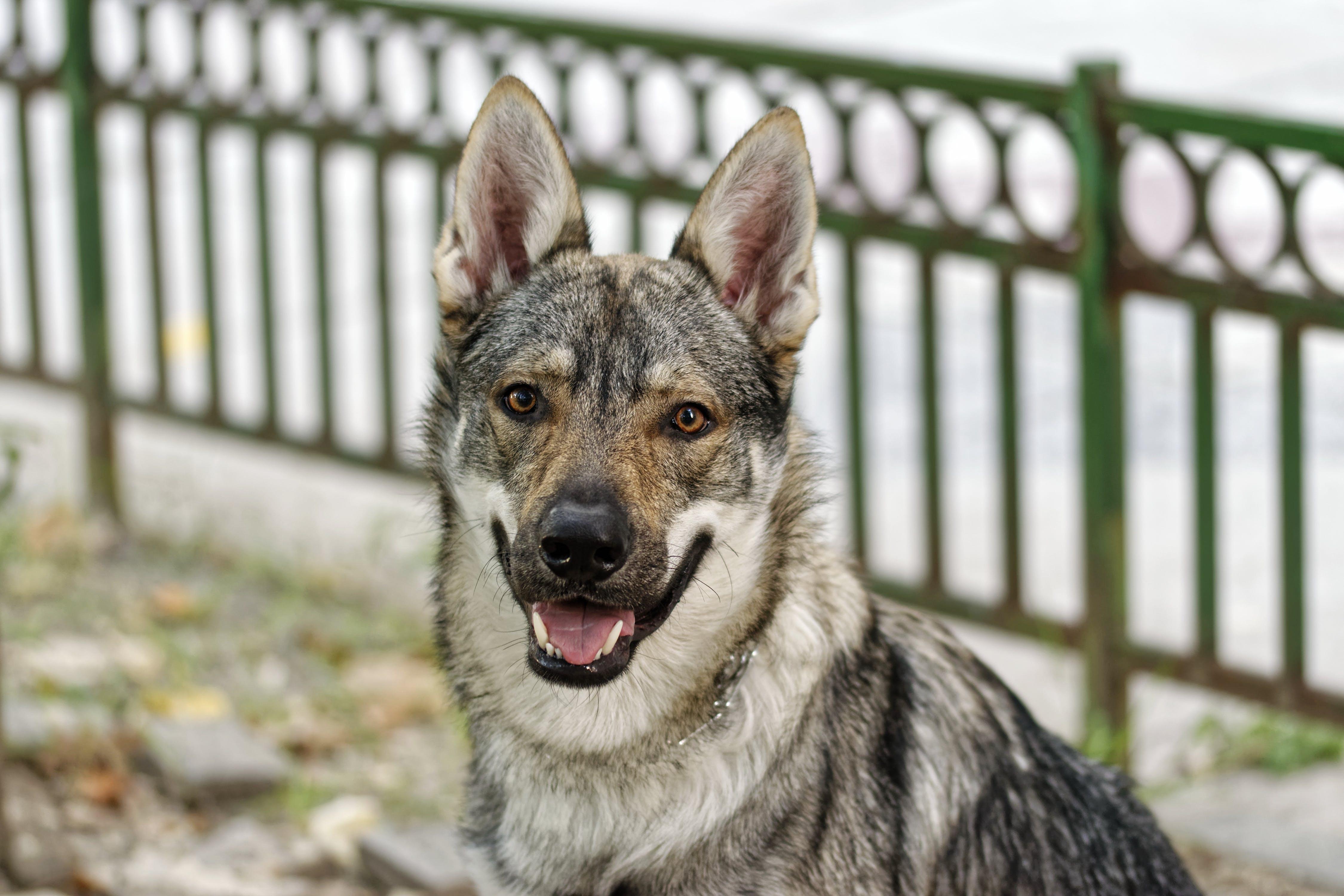 Medium Short-coated Gray Dog on Selective Focus Photo